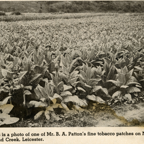 """""""This is a photo of one of Mr. B.A. Patton's fine tobacco patches on Newfound Creek, Leicester."""""""